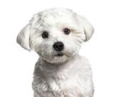 Maltese dog , 11 months old, against white background - 205273515