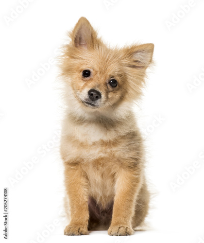 Pomeranian puppy, 5 months old, sitting against white background