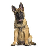 Belgian Shepherd dog, 4 months old, sitting against white background