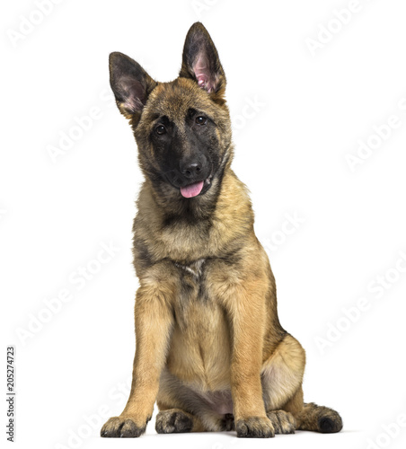 mata magnetyczna Belgian Shepherd dog, 4 months old, sitting against white background