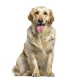 Labrador Retriever dog, 1 year old, sitting against white background