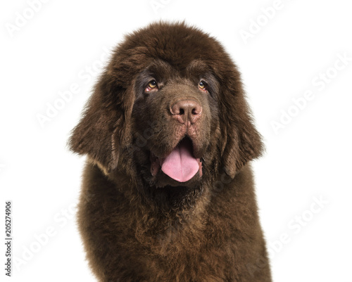 Newfoundland puppy , 5 months old, against white background