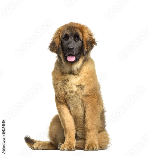 Leonberger puppy, 4 months old, sitting against white background