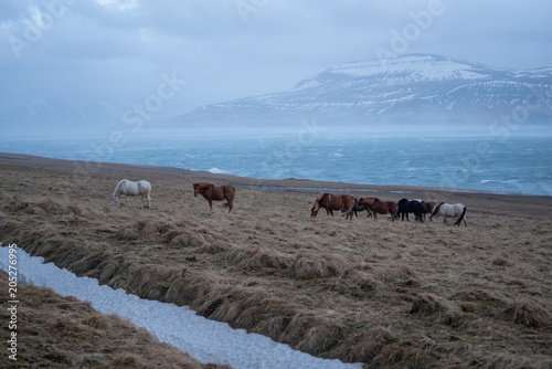 Fotobehang Blauwe hemel Icelandic horses , with a nice blue background, Iceland.