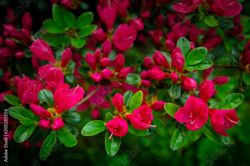 Fotobehang Azalea Rhododendron Japonicum with pink azalea. Fuchsia, violet flowers blooming in close-up.