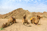 Bedouin camels laying on sand in Egyptian desert