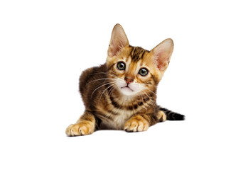 small Bengal kitten looks