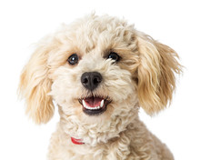 Closeup Happy Poodle Crossbreed Dog Sticker