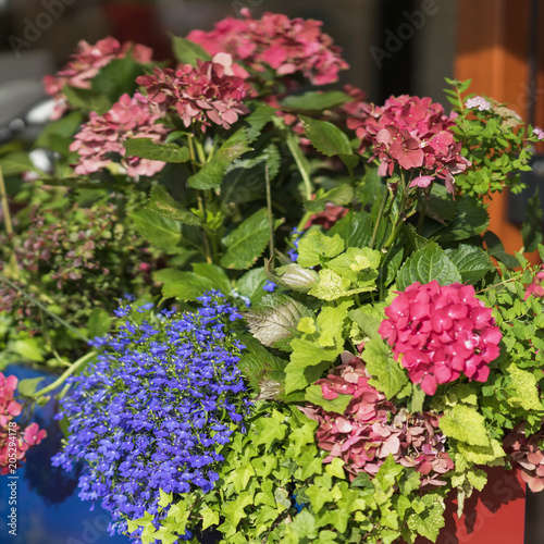 Plexiglas Hydrangea Colorful brightly and vivid blooming summer or spring flowers on the flowerbeds of the city. Beautiful seasonal floral square background