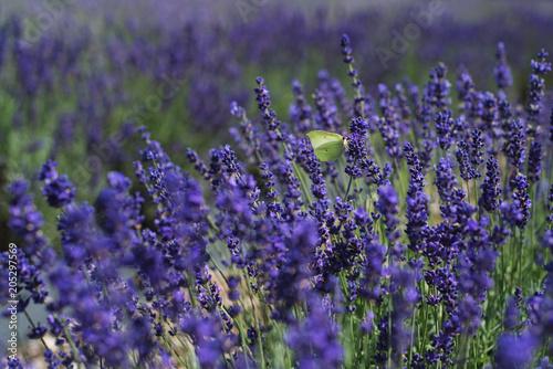 Aluminium Lavendel butterfly