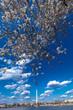 APRIL 10, 2018 - WASHINGTON D.C. - Washington Monument framed by Cherry Blossoms on Tidal Basin, WAshinton D.C.
