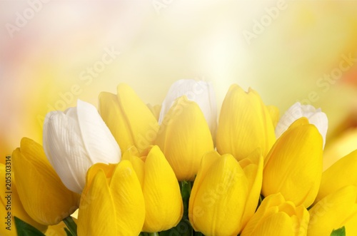 Fototapeta Tulip.