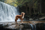 A dog by the waterfall. Pet on the nature by the water, Healthy lifestyle. Traveling with the pet. Nova Scotia Duck Tolling Retriever, tolller.