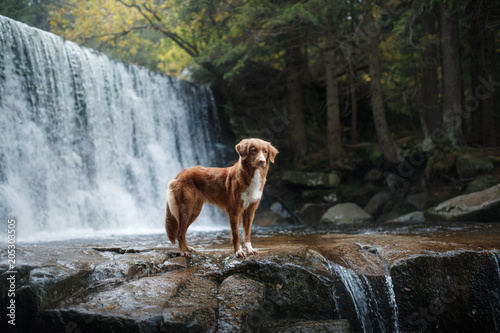 Fototapeta A dog by the waterfall. Pet on the nature by the water, Healthy lifestyle. Traveling with the pet. Nova Scotia Duck Tolling Retriever, tolller.