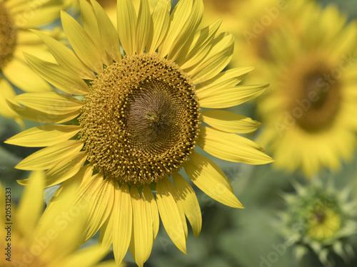 Fotobehang Oranje Sunflower field