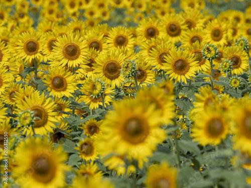 Plexiglas Honing Sunflower field