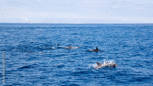 Plexiglas Dolfijn Playful dolphins swimming in open ocean waters near Ventura coast, Southern California