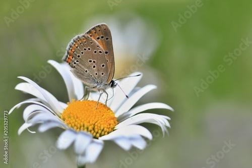 Plexiglas Vlinder Butterfly Purple-edged copper sitting on the daisy flower (Lycaena hippothoe)