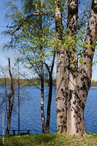 Fototapeta Birches on the shore of the Volga