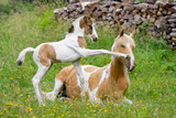 Pony foal kicks its mother with its front hoof, coat color pinto with tobiano patterns - 205334522