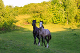 Two horses on the green meadow in evening