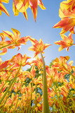 colorful tulips are in full bloom and directed towards the sun with their beautiful colors against a blue sky - 205345929