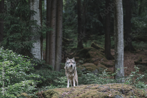 Fridge magnet Wolf in forest. Bayerischer wald national park, Germany