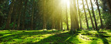 Sun shines through the trees in the pine forest.