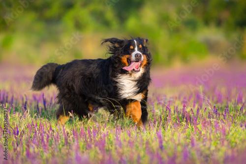 Bernese sennenhund dog run in violet salvia flowers