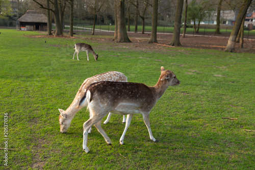 Fototapeta Deers together