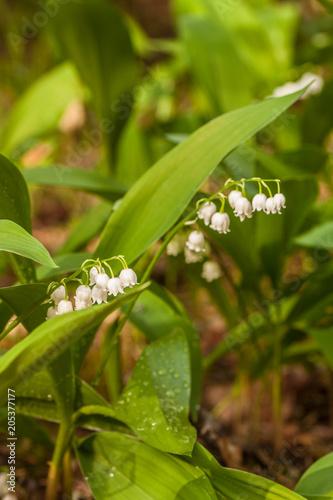 Plexiglas Lelietjes van dalen Lily of the valley (Convallaria majalis) in flower