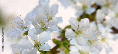 Fototapeta White flowers of cherry trees in the spring.