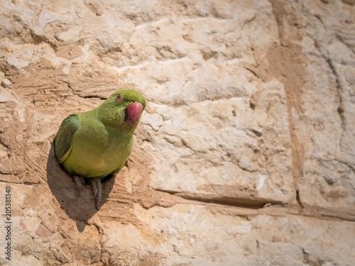 Fotobehang Papegaai Isolated rose ringed parakeet- Israel