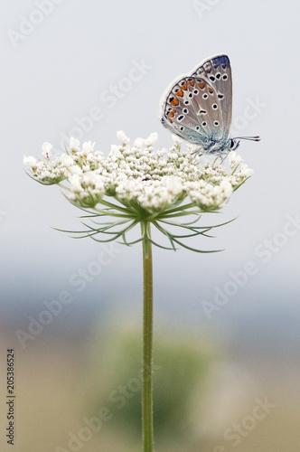 Plexiglas Vlinder Bläuling