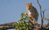 Leopard in a tree standing