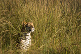 Leopard in the grass 2