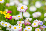 Natural background with blossoming daisies. Soft focus