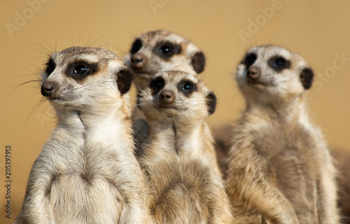 Fridge magnet Meerkats