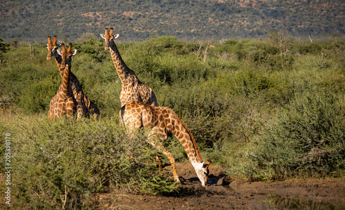 Fototapeta Giraffes