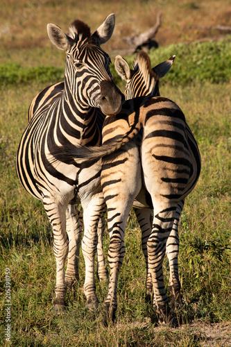 Fototapeta Zebra friends