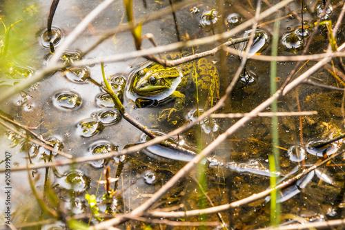 Plexiglas Kikker common water frog in a pond