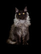 cat maine coon on a black background