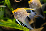 angelfish - Pterophyllum scalare