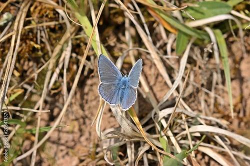 Plexiglas Vlinder Hauhechel-Bläuling (Polyommatus icarus)