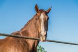 koń kasztan brązowy