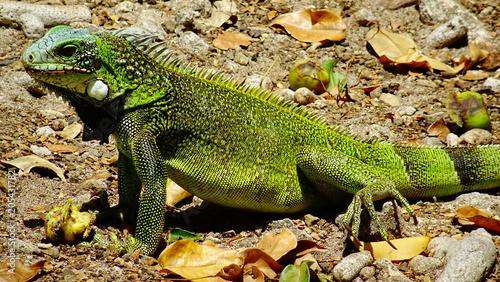 Fototapeta Leguan auf Curaçao