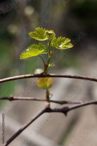 Fotobehang Wijngaard Rod branch with small growing leaves