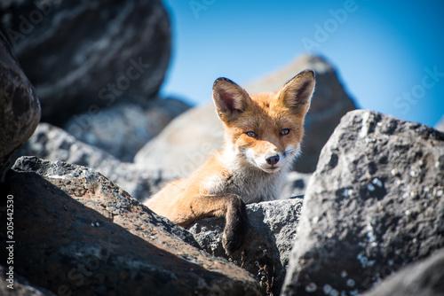 Fototapeta The Fox