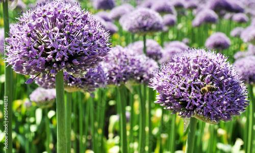 Aluminium Lavendel background, flower, green, onion, allium, natural, garden, nature, purple, gardening, plant, leaf, blossom, flora, bloom, decorative, botanical, blooming, beauty, color, summer, beautiful, closeup, fr