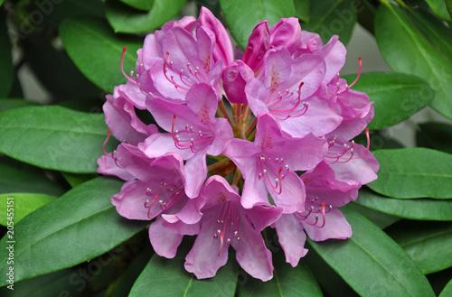 Aluminium Azalea Beautiful pink rhododendron flowers